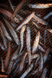 JVS image - Fish caught in a net